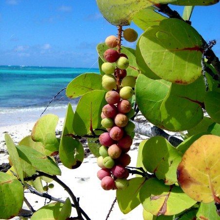 Graines de Raisin De Mer (Coccoloba uvifera)