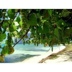Sementes da Uva-da-praia (Coccoloba uvifera) 2.5 - 3