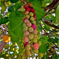 Seagrape Baygrape Seeds (Coccoloba uvifera) 2.5 - 7