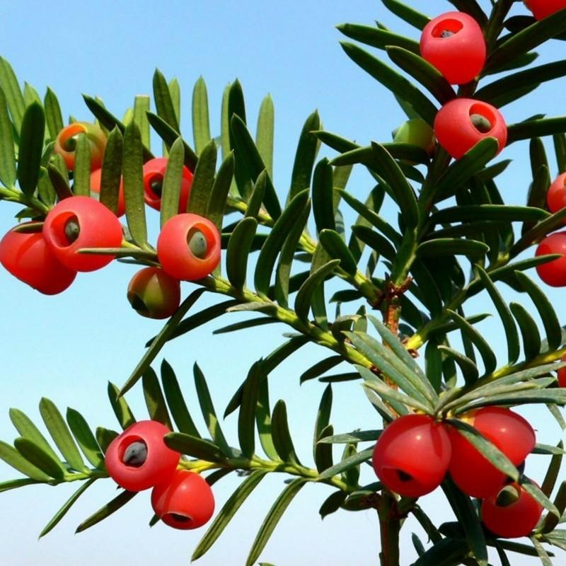 Sementes de TEIXO (Taxus baccata) 1.95 - 1