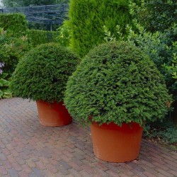 English yew - European yew Seeds (Taxus baccata) 1.95 - 4
