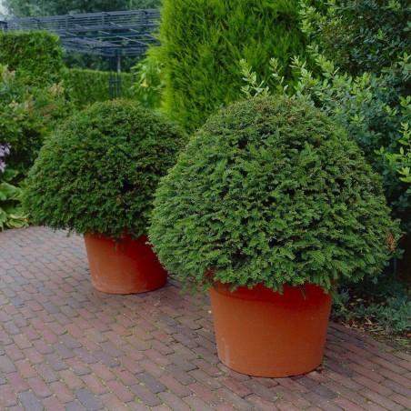 Σπόροι Ίταμος (φυτό) (Taxus baccata) 1.95 - 4