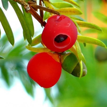 Σπόροι Ίταμος (φυτό) (Taxus baccata) 1.95 - 2