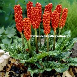 Arum Seeds, Snakeshead, Adder's Root (Arum maculatum) 2.25 - 1