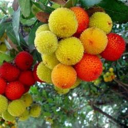 Erdbeerbaum Samen Das Unikum (Arbutus Unedo) 1.75 - 2
