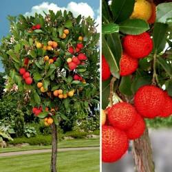 Erdbeerbaum Samen Das Unikum (Arbutus Unedo) 1.75 - 4