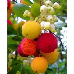 Semillas de Madroño frutos deliciosos (Arbutus Unedo) 1.75 - 3