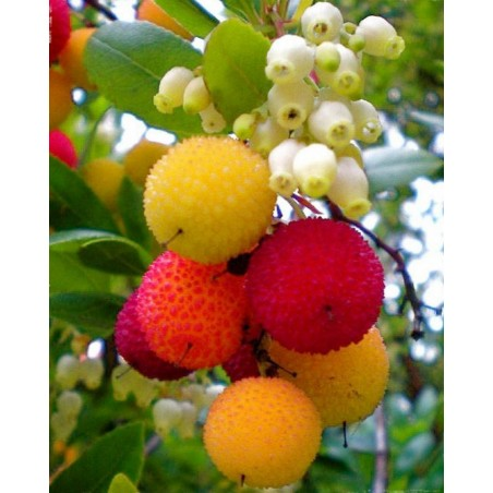 Maginja, Jagoda Drvo Seme (Arbutus Unedo) 1.75 - 3