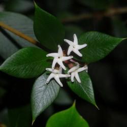 Αλυσίδα φρούτων ή ακανθώδης Σπόροι alyxia (Alyxia ruscifolia) 2.55 - 2
