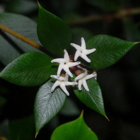 Sementes de frutas em cadeia ou alyxia espinhosa (Alyxia ruscifolia) 2.55 - 2