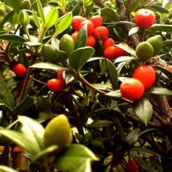 Sementes de frutas em cadeia ou alyxia espinhosa (Alyxia ruscifolia) 2.55 - 3