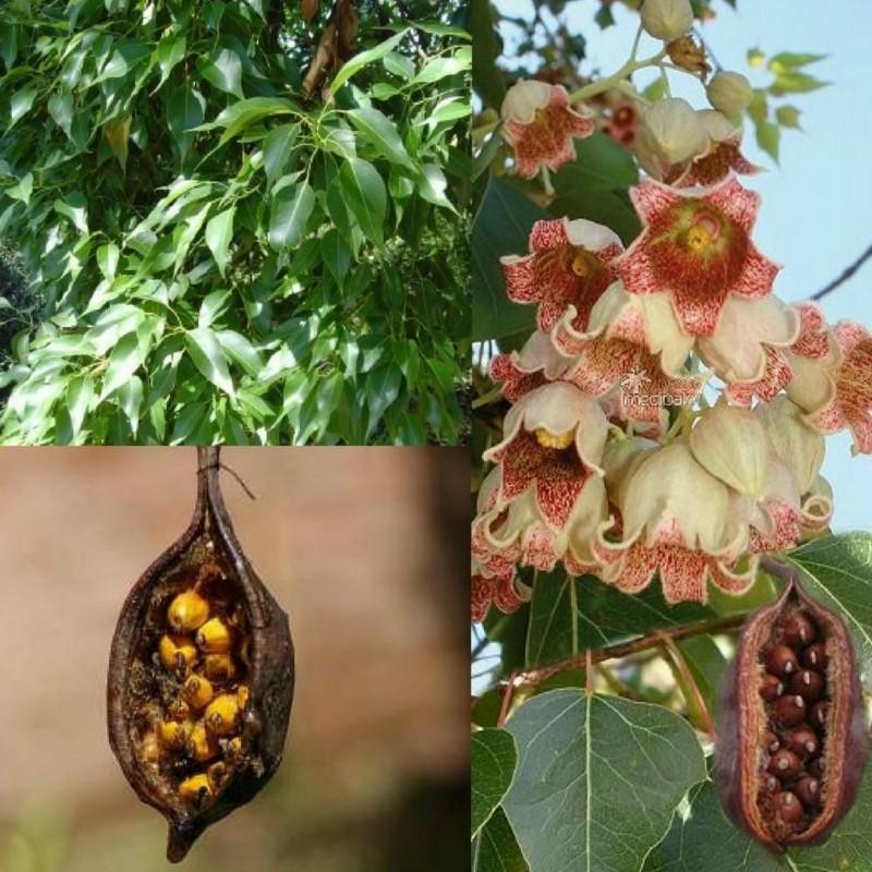 Semillas de Árbol botella, Braquiquito o Kurrajong 1.95 - 1