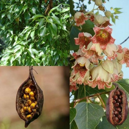 Bottle tree - Kurrajong Seeds (Brachychiton populneus)
