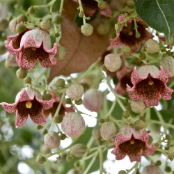 Bottle tree - Kurrajong Seeds (Brachychiton populneus) 1.95 - 2