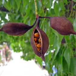 Kurrajong-Flaschenbaum Samen (Brachychiton populneus) 1.95 - 4