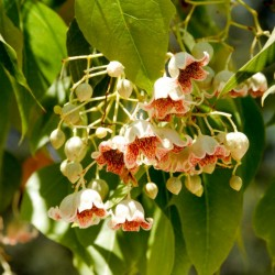 Semi di Brachychiton populneus – Bonsai 1.95 - 5