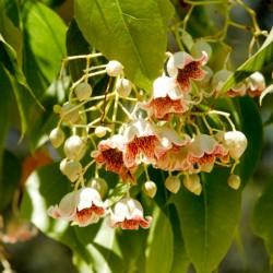 Kurrajongträd Bonsai Frön (Brachychiton populneus) 1.95 - 5