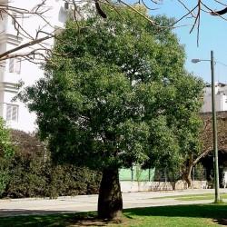 Kurrajongträd Bonsai Frön (Brachychiton populneus) 1.95 - 3