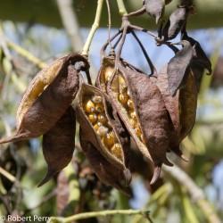 Semillas de Árbol botella, Braquiquito o Kurrajong 1.95 - 6