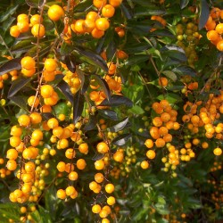 Golden Dewdrop Seeds (Duranta erecta) 1.75 - 4