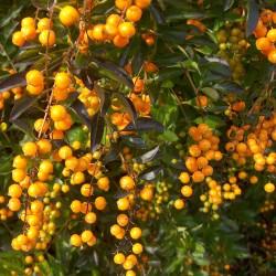 Sementes Pingo-De-Ouro (Duranta erecta) 1.75 - 4