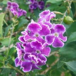 Himmelsblüte Taubenbeere Samen (Duranta erecta) 1.75 - 2