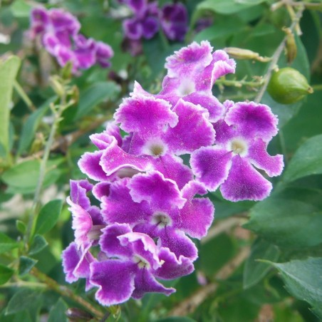 Golden Dewdrop Seeds (Duranta erecta) 1.75 - 2