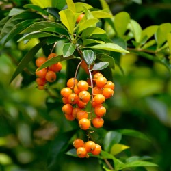 Golden Dewdrop Seeds (Duranta erecta) 1.75 - 1