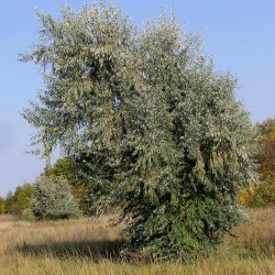 Silverberry Russian Olive seeds (Elaeagnus angustifolia) 2.95 - 3