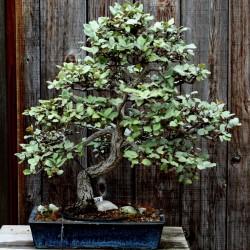 Ruska Maslina - Dafina Seme (Elaeagnus angustifolia) 2.95 - 4