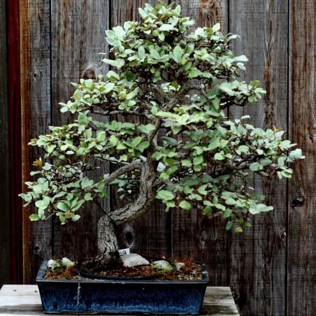 Schmalblättrige Ölweide Samen (Elaeagnus angustifolia) 2.95 - 4