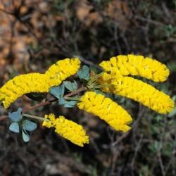 Dwarf Wattle Seeds 1.85 - 5
