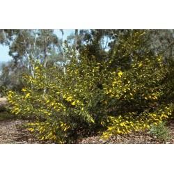 Dwarf Wattle Seeds 1.85 - 4