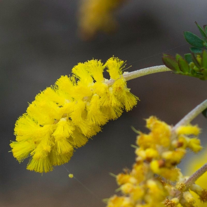 Dwarf Wattle Seeds 1.85 - 1
