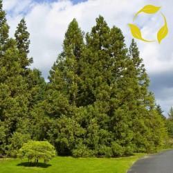 Japanese Cedar Seeds 1.5 - 2