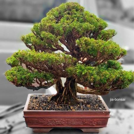 Sacred Japanese Cedar Seme Bonsai