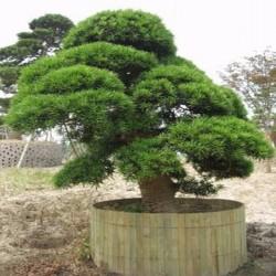 Sacred Japanese Cedar Seme Bonsai 1.5 - 4
