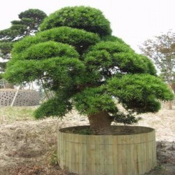 Semi di Cryptomeria japonica Bonsai 1.5 - 4