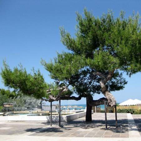 Χαλέπιος πεύκη σπόροι των bonsai