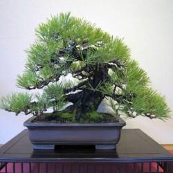 Χαλέπιος πεύκη σπόροι των bonsai 1.75 - 2