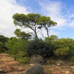 Χαλέπιος πεύκη σπόροι των bonsai 1.75 - 3