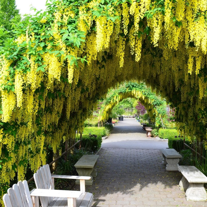 Golden Chain Tree Seeds 1.95 - 1
