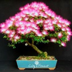 Persiskt Silkesträd Frön 2.5 - 1