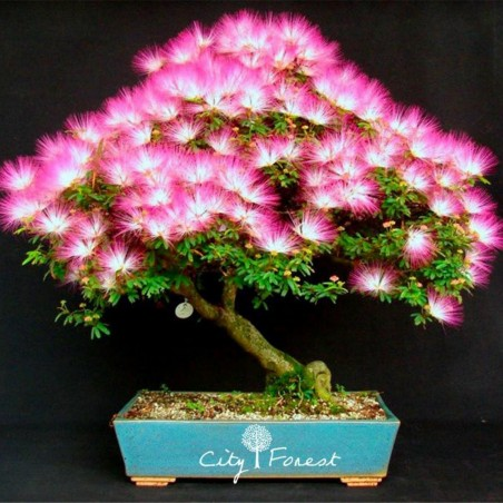 Silk Tree, Pink Silk Tree Seeds (Albizia julibrissin)