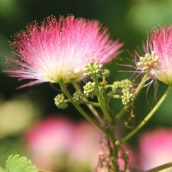 Persian Silk Tree, Pink Silk Tree Seeds 2.5 - 2