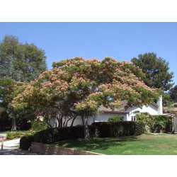 Seidenbaum, Seidenakazie, Schlafbaum Samen 2.5 - 4