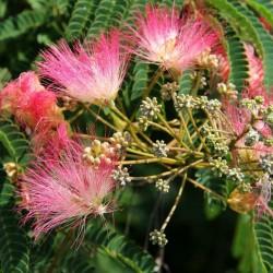 Persiskt Silkesträd Frön 2.5 - 5