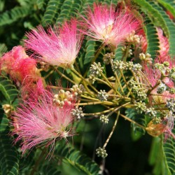 Persian Silk Tree, Pink Silk Tree Seeds 2.5 - 5