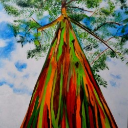 Graines Eucalyptus arc-en-ciel