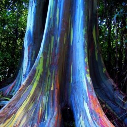 Regenbogen-Eucalyptus Samen, Rainbow Eucalyptus 3.5 - 2